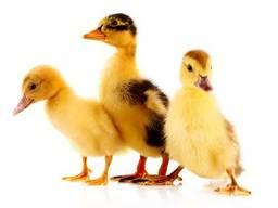 Мулард, утка, качка, утята, суточные, подрощенные утки