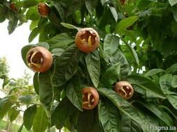 Мушмула германская семена (10 шт) для саженцев, насіння