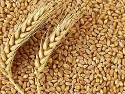 Продам мягкую пшеницу FCA