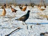 Мясо фазана - фото 1