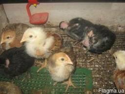 Мясо-яичные цыплята по 25 грн.