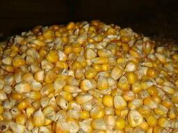 На постоянной основе закупаем кукурузу