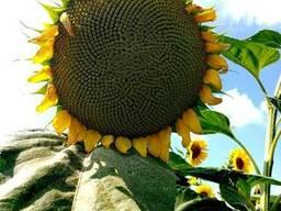 """Насіння гiбрида соняшника """"Рекольд"""" (гранстаростiй)стандарт"""