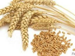 """Насіння канадскої пшениці """"Леннокс"""""""