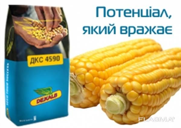 Насіння кукурудзи ДКС 4590 ФАО 360