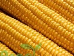 "Насіння кукурудзи "" Монблан ФАО 320""( стандарт)"