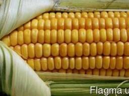 Насіння кукурудзи Оржиця 230 МВ