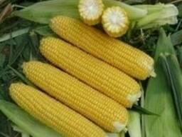 Насіння кукурудзи Півіха