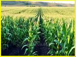 Насіння кукурудзи Солонянський 298 СВ - фото 1