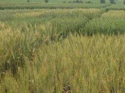 Насіння озимої пшениці Ампер Еліта - напівкарликовий сорт