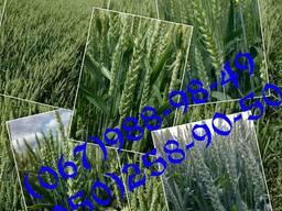 Насіння озимої пшениці Аналог (БН, СН-1)