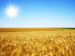 Насіння озимої пшениці Антонівка