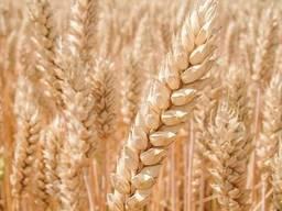 Насіння озимої пшениці Богдана