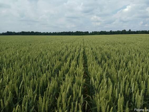 Насіння озимої пшениці Колоніа