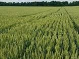 Насіння озимої пшениці Колоніа - фото 2