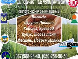 Насіння озимої пшениці Краєвид