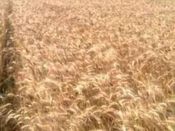 Насіння озимої пшениці Лісова пісня