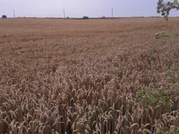 Насіння озимої пшениці сорт мескаль