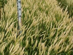 Насіння пшениці озимої Мелодія одеська, 80-90 ц/га