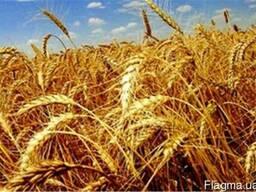 Насіння пшениці озимої с.Краєвид, с. Щедрівка Київська, с.По