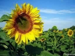 Насіння соняшника Бомонд (від виробника)