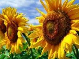 Насіння соняшника Бонд