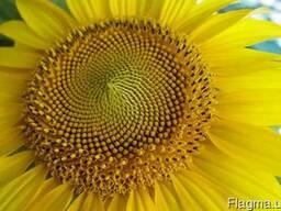 Насіння соняшника Деркул