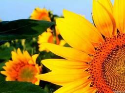 Насіння соняшника Дует