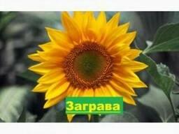 Насіння соняшника Заграва / семена подсолнуха Заграва купить