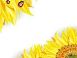 Насіння соняшника ЗУ Інесса Saaten Union