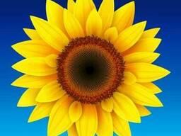 Насіння соняшнику Астун (Seed Grain)