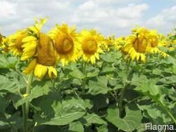 Насіння соняшнику гібрид Нео, Толедо