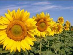 Насіння соняшнику Блейзер (Seed Grain)