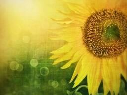 Насіння соняшнику Денвер (Seed Grain)