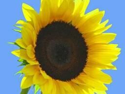 Насіння соняшнику Гена (Нові Сад, Сербія)