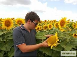 Насіння соняшнику гібрид Карат
