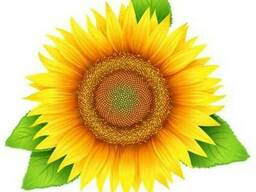 Насіння соняшнику Пронто (Seed Grain)