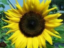 Насіння соняшнику Терра (Нові Сад, Сербія)