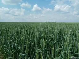 Насіння ярої пшениці Сімкода миронівська (еліта)