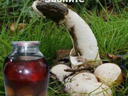 Настійка гриба веселки , якісна Волинський гриб