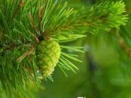 Настойка зеленых сосновых шишек