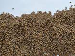 Семена люцерны Немагниченные и магниченные семена люцерны, посевная люцерна, насіння - фото 2