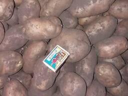 Картопля картофель нестандарт