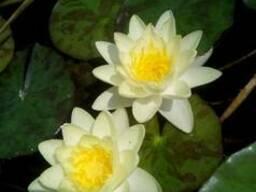 Нимфея (Водяная лилия)Желтая