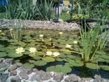 Нимфея (Водяная лилия)Желтая - фото 3