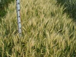 Нива Одесская (Первая репродукция) Пшеница озимая