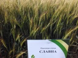 Низкорослый сорт оз. пшеницы Славна