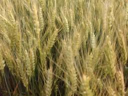 Нота Одесска озимая пшеница