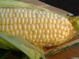 Новинка!!! Семена кукурузы Любава (Sunseeds) 2018 года
