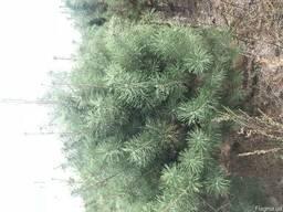 Новогодние елки оптом